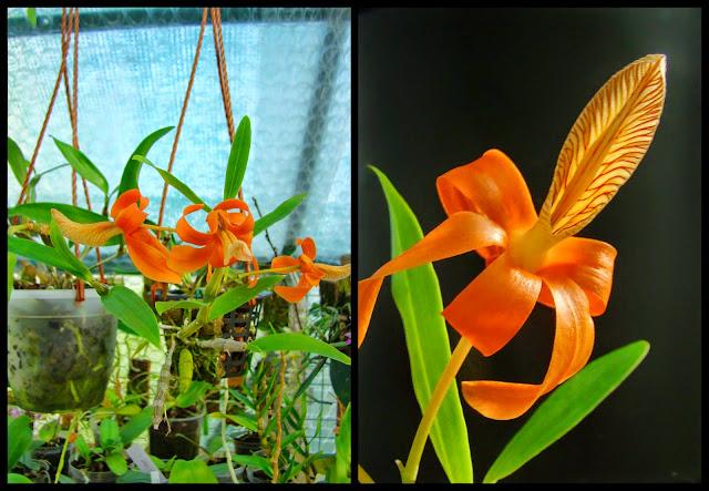 Dendrobium unicum 2014-05-031