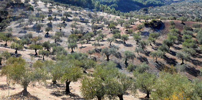 Olivenhaine bei El Burgo, Andalusien