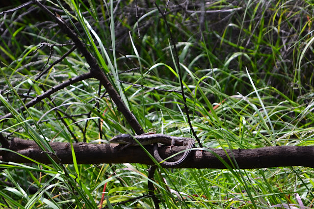 lizard on a branch with tail curled up