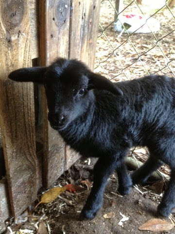 ... leg markings. E-Ram is Black and Tan. So little lamb looks like