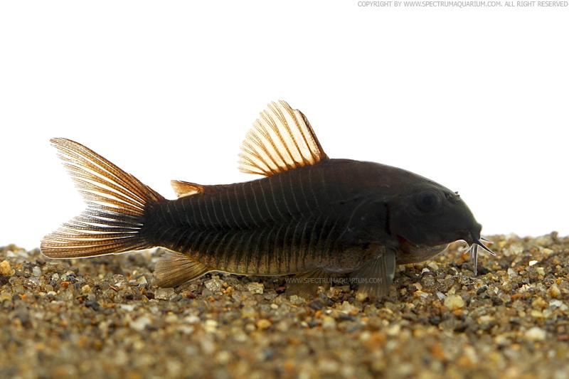 Spectrum Aquarium: Corydoras sp.