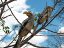 There's always plenty of southern hornbills around and ready to see if visitors have food.