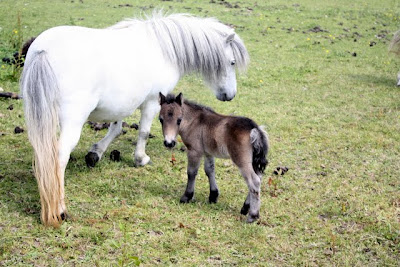 Pony and foal in the Eden Valley in Cumbria England
