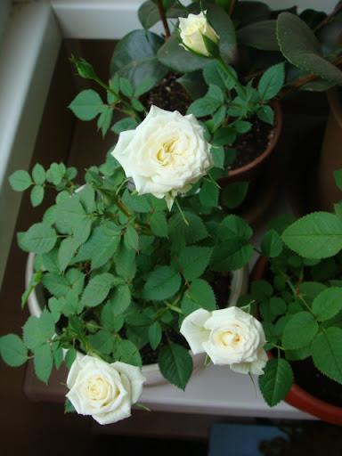 Розы в комнатной культуре - Страница 2 DSC05406