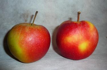 Gala owoc
