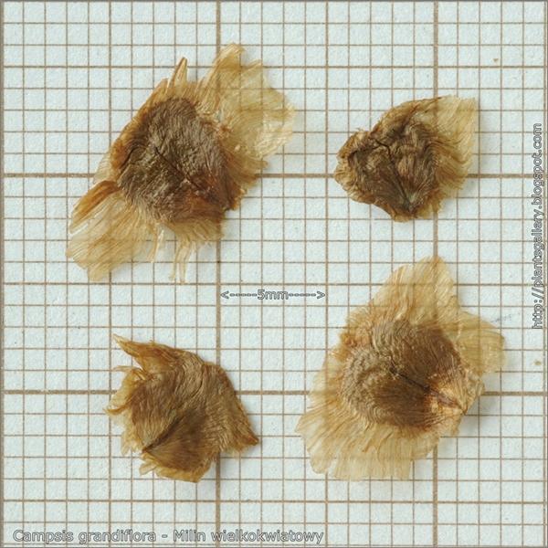 Campsis grandiflora seeds - Milin wielkokwiatowy nasiona