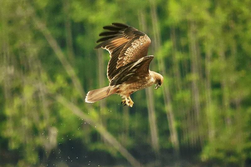 Steppe Kite