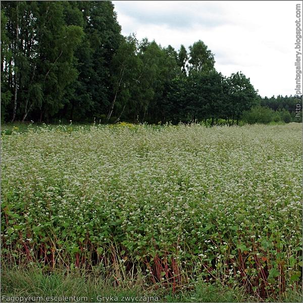 Fagopyrum esculentum - Gryka zwyczajna uprawa