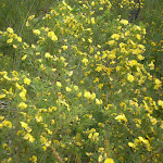 Graceful Bush Pea (Pultenaea flexilis) (6559)