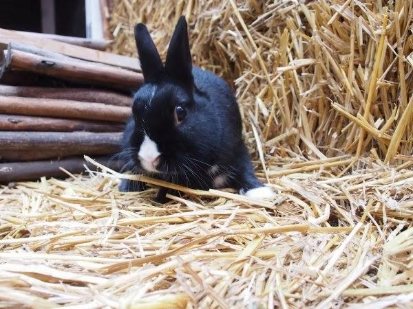 Prince, petit lapin noir-[adopté] Prince10-614e6