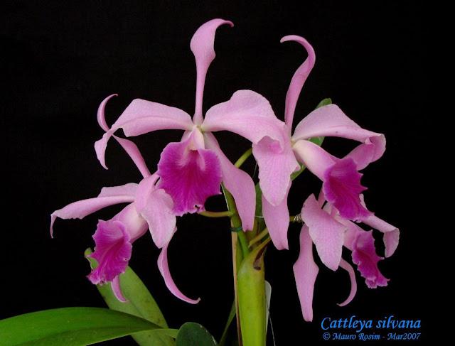 Растения из Тюмени. Краткий обзор - Страница 2 Cattleya%252520silvana1