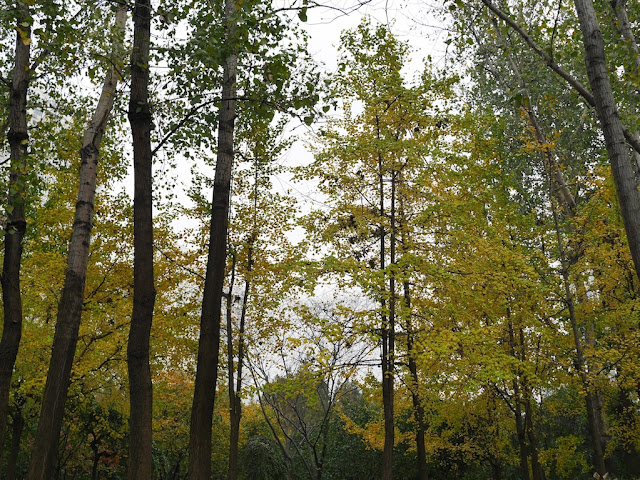 gingko trees with yellow leaves