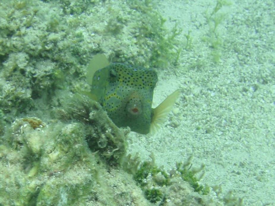 Ostracion cubicus (Yellow Boxfish), Rarotonga.