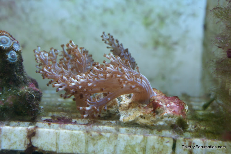 Capnella imbricata (Kenya Tree Coral) DSC04831