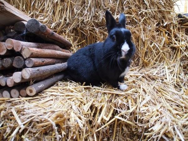 Prince, petit lapin noir-[adopté] Prince9-665f4
