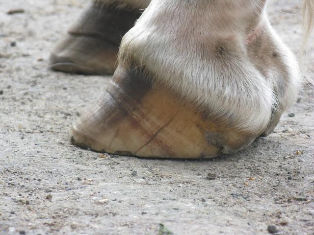 Besoin d'avis et conseils sur les pieds de mon cheval IMG_2119