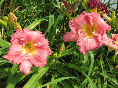 Little Baby Cakes Daylily
