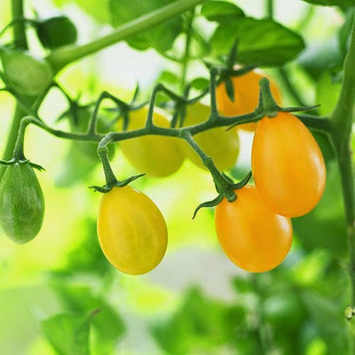 Cà chua kiểng 1
