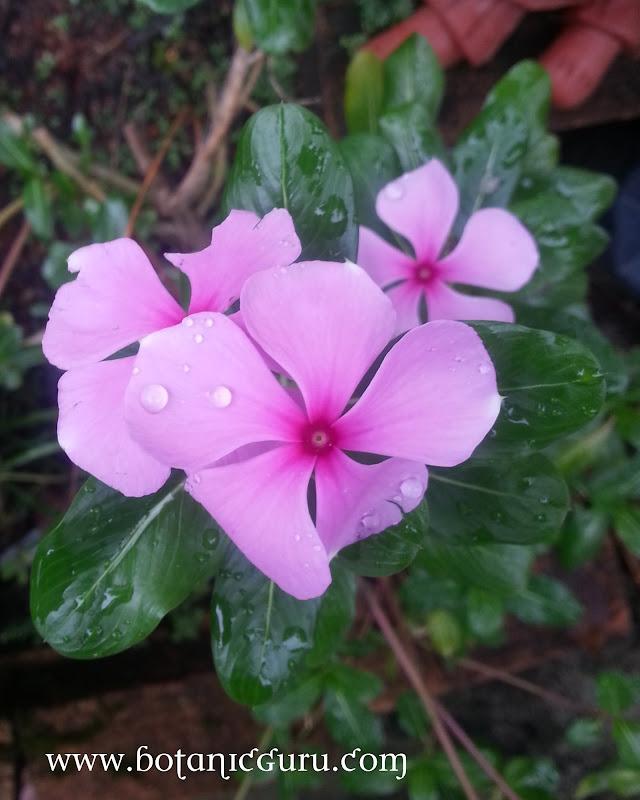 Catharanthus roseus, Madagascar Periwinkle flower
