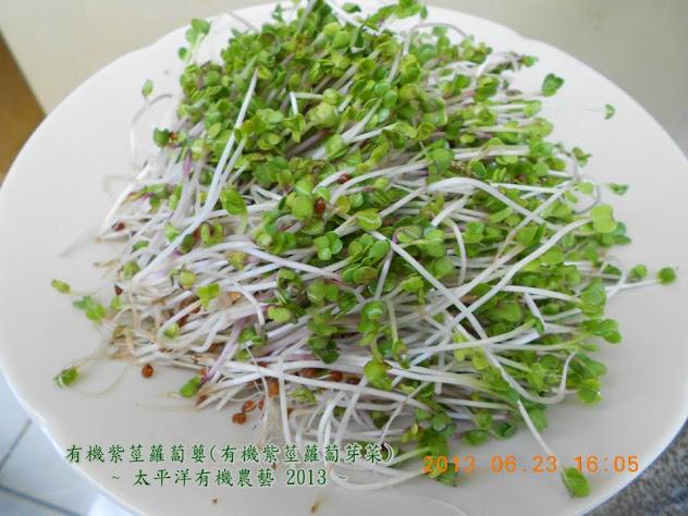 有機紫莖蘿蔔芽苗