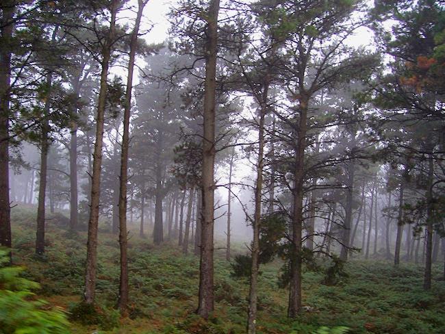 un pinar entre la niebla