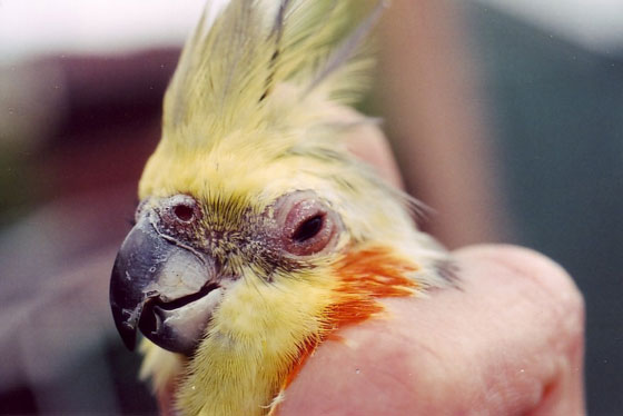 Sinusitis and conjunctivitis in 20-year-old male cockatiel with inflammation from a sinus infection from a seed diet.