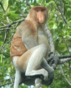 Bekantan The Long-Nosed Monkey