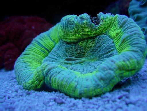 coraux4