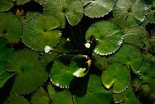 Arroyo cubierto con jacintos