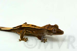 Ruffle - Pinstripe Crested Gecko from moonvalleyreptiles.com