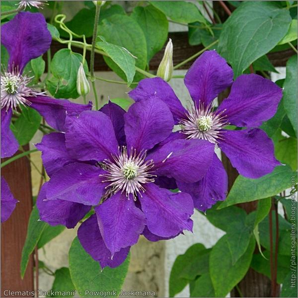 Clematis 'Jackmanii' flowers - Powojnik Jackmana kwiaty