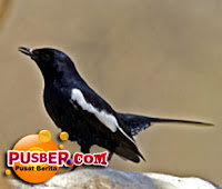 Jenis Burung Kacer Tasik