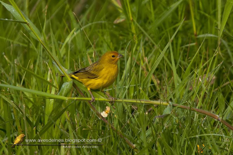 Jilguero dorado (Saffron-yellow Finch)