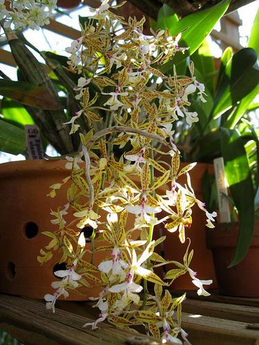 Растения из Тюмени. Краткий обзор - Страница 3 Epidendrum%252520stamfordianum