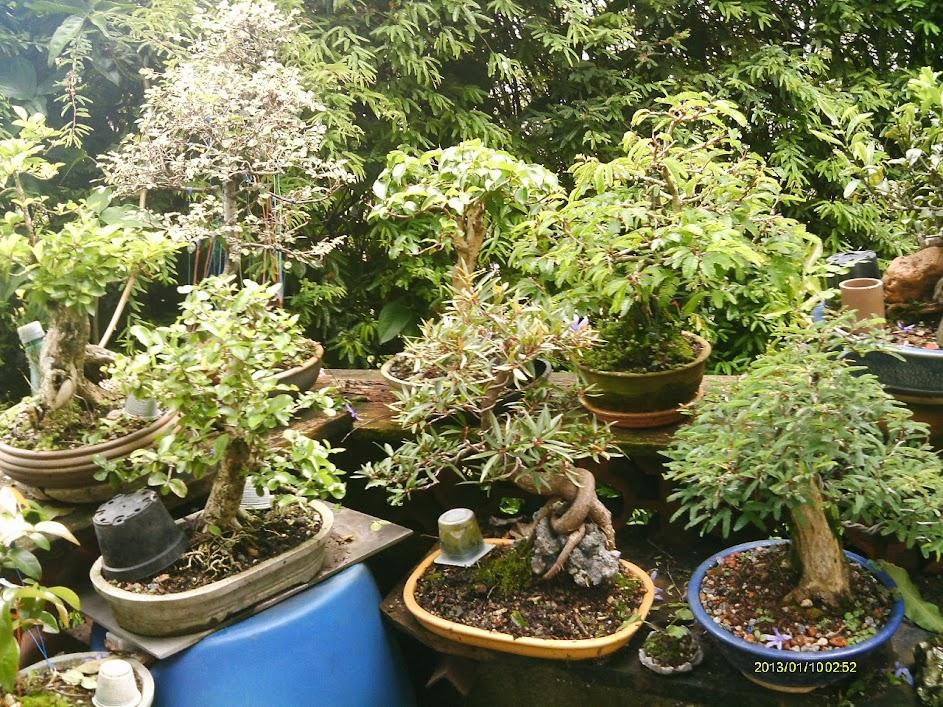 Ficus Nerifolia, Uma raiz de 3 anos... - Página 2 IMAG0207