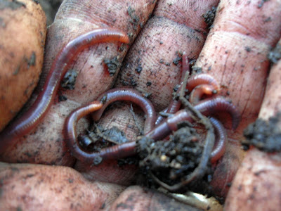 There yellow tailed worms have a worm farm in a car tire