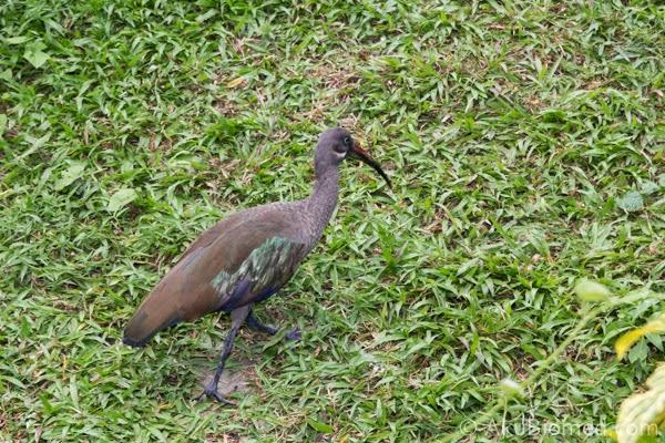 hadada ibis