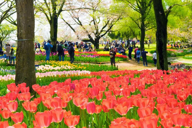 昭和記念公園 チューリップ 写真11