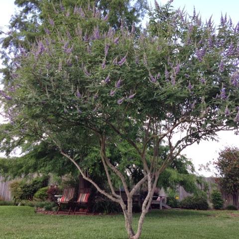 blooming vitex tree