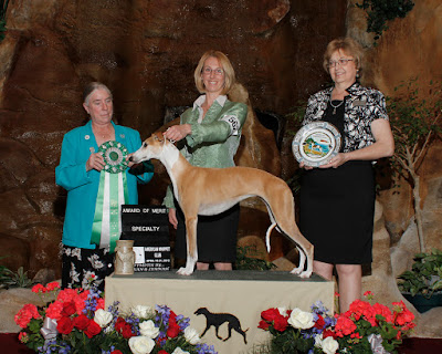 """Spirit"" NFC DC Cali N TNTs Spirit of the Wild of Nitro MC LCX5 FCH AOM at our 2012 National Specialty in Huron, OH Breeder Judge Connie Brunkow"