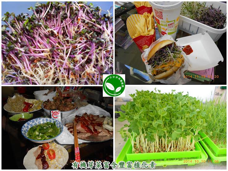 圖/居家開心農場-有機芽菜箱-嘉義(黃小姐)提供、使用有機水耕盤培育中的小麥草、有機紫莖蘿蔔嬰芽菜苗