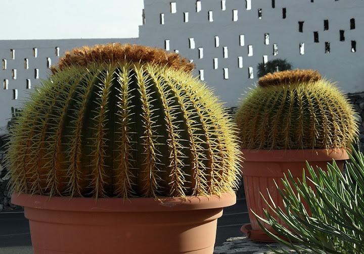 Forum Ogrodnicze Oaza Topic Echinocactus Grusonii