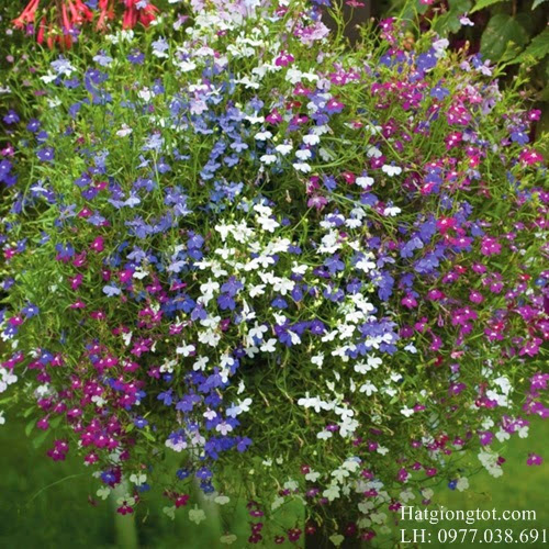 Hạt giống hoa cúc lobeli