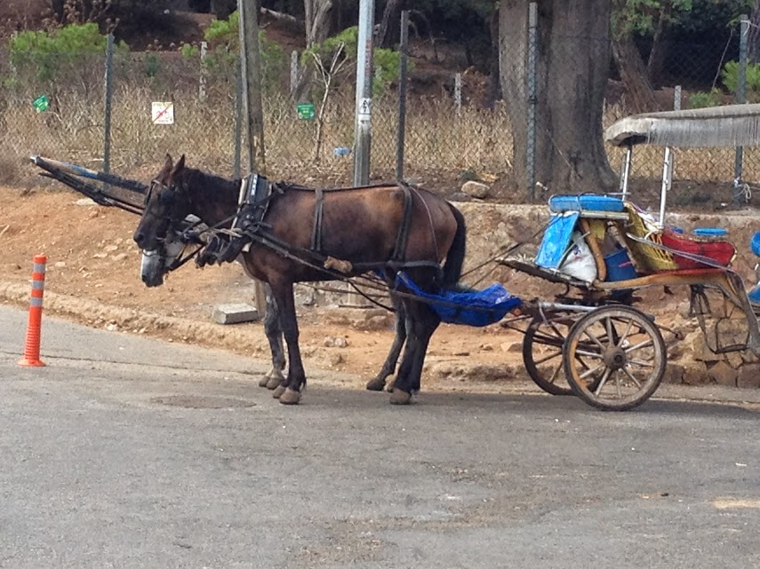 horse and carriage buyukada unhealthy conditions sick animals