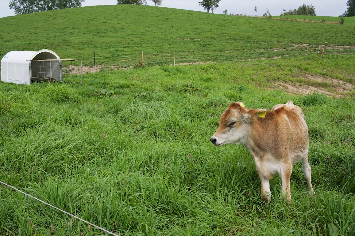 小さな牛舎と仔牛ちゃん