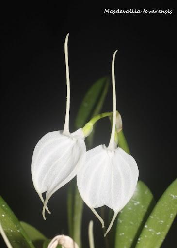 Alaticaulia tovarensis ( ex. Masdevallia tovarensis ) IMG_0591b%2520%2528Medium%2529