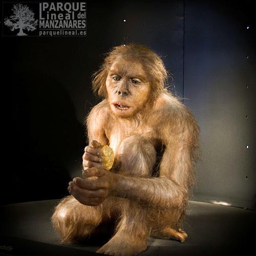 Homo habilis. Museo de la evolución humana. Burgos.