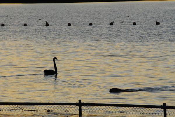 dog and swan