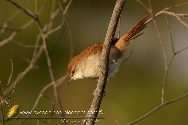 Curutié colorado (Yellow-throated Spinetail)
