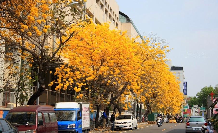 台南中西區,黃花風鈴木-8
